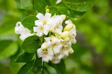 Heart-shaped White Glass Murraya Flower With A Soft