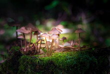 Small Mushrooms On Thin Legs Hallucinogens Grow On A Stump In Moss Illuminated By A Ray Of Sun Light