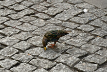 Starling Eating Food On The Streets