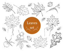 Large Vector Set Of Leaves. Collection Of Maple Leaves. Elements For Autumn Decorative Design. Leaf In A Human Hand. Oak Leaves, Physalis Sketch.