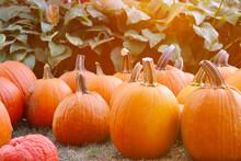 Beautiful Pumpkin Background. American Pumpkins At Autumn Farm.