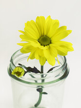 Yellow Chrysanthemum Flower In A Glass Jar On White Background