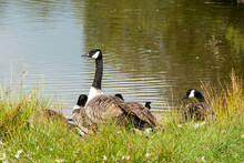 Canada Geese Resting By The Lake