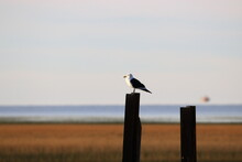 A Seagull Looking At The Horizon On The Sea Coast