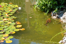Lotus Blossom Lily Pads Koi Fish