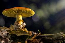Mushroom Amanita Caesarea, Caesar's Mushroom Al Bosc