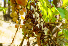 Clusters Of Spoiled Rotten Grapes Hang On A Bush. Drought, Spoiled Harvest