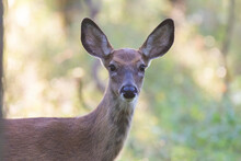 White Tailed Deer Fawn In Autumn