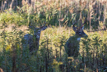 Two Males White-tailed Deer In Fall Season