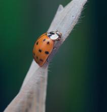 Asiatischer Marienkäfer (Harmonia Axyridis), Orange, Nahaufnahme