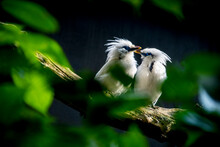 A Pair Of Bali Mynah Sitting On A Tree Trunk
