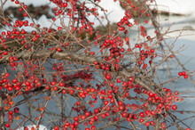 Close-up: Branches With Red Cotoneaster Berries Above The Snow And Ice Of Frozen Lake