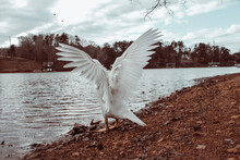 White Duck Flapping Wings