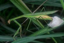 Female Praying Mantis Baking Egg Sacs On The Blade Of Grass