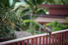 Spotted Dove Perched On Old Red Fence With Blur Background.