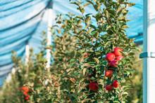 Summerred, Red Apple In Fruit Orchard