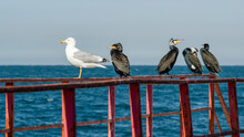 White Minority Among Black Majority. Birds (cormorants And Seagull) Sitting On Rails Of Pier Against The Sea On Sunny Day.