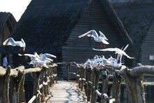 Möwen In Den Pfahlbauten Unteruhldingen Am Bodensee