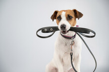 Jack Russell Terrier Dog Holding A Leash On A White Background.