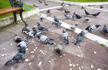 Pigeons Eating Bread