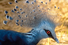 Victoria Crowned Pigeon Over Yellow Background