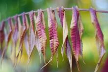 Autumn Leaves Of Sumac Tree