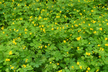 A Lot Of Yellow Flowers Of Chelidonium Majus In May