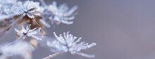 Abstract Blurred Bokeh Soft Web Banner Background With Wild Angelica Plant Dry Compound Umbels Of Flowers Covered With White And Shiny Frost Crystals, Winter Magic Concept