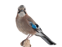 Bird Jay Sits On A Tree Branch On A White Background