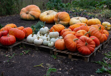 Harvest Of Variety Of Pumpkins Displayed On Pallets In The Garden