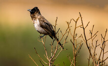 Black Eyed Bulbul, Photographed In South Africa.