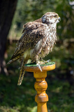 The Saker Falcon (Falco Cherrug), Stands On A Stand In The Garden