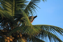 Indian Female Peacock Is Sitting In The Coconut Tree And Blue Sky On The Background