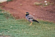 Mynah Bird On The Grass