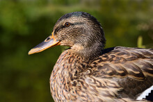 Portrait And Close-up Of A Young Brown Duck Sitting In Front Of A Green Background In Nature
