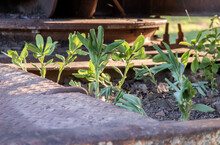 Close-up Of Young Green Trees Growing Through Old Car Wreck. Abandoned Car, Selective Focus.