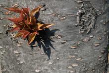 Parthenocissus Quinquefolia Or Virginia Creeper Changing Color In Autumn On Big Tree Background. Focus And Blur.