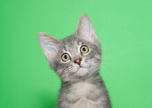 Portrait Of An Adorable Grey Tabby Kitten, Head Tilted Curiously Looking At Viewer. Green Background With Copy Space.