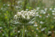 Close-up Of The Umbel Of A Wild Carrot