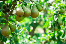 Closeup Of Pears Tree Branch With Ripe Juicy Fruits In Summer Garden