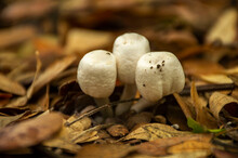 Mushrooms And Dry Leaves