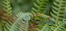 Steropleurus Pseudolus Saddle Bush-cricket Large Grasshopper With No Wings Green. Endemic