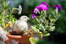 The Photo Shows A Texas-bred Quail Sitting In A Pot Of Flowers
