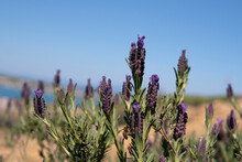 Topped Lavender Against The Blue Sky