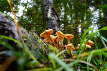 Armillaria Mellea. Specimens Of Honey Mushroom Growing In Clusters On An Old Tree In The Forest.