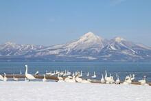 猪苗代湖の白鳥(福島県・湖南町・青松浜)