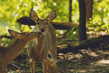 Two Deer Kissing In The Woods On A Sunny Summer Day In Pennsylvania.