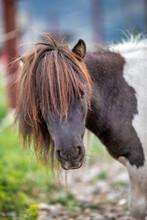 Pony Eating Hay