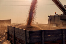 Harvester Pouring Corn Grain After The Harvest In The Field. Harvesting Corn On A Sunny Autumn Day. Agriculture And Farming.