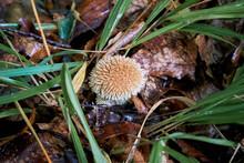 Lycoperdon Echinatum, Puffball Mushroom, Spiny Puffball, Spring Puffball.
